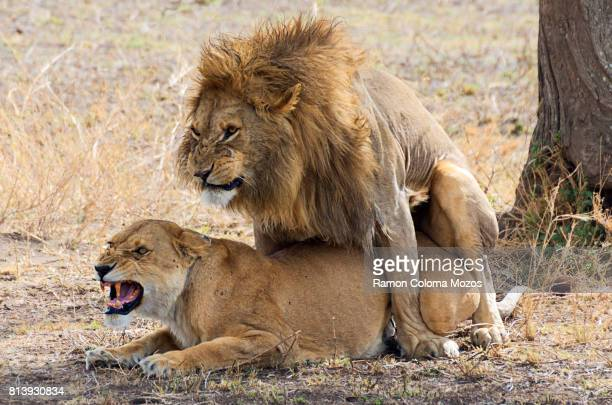 The lions mating