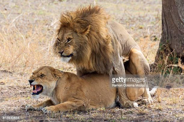 the lions mating - accouplement animal photos et images de collection