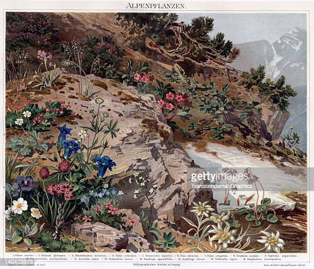 The lithographic plate printed for Meyers KonversationsLexikon entitled Plants of the Alps was issued in Leipzig Germany in 1890