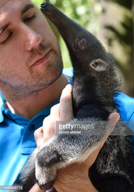 The little anteater 'Flavio' makes himself comfortable in the arms of zoo director Dennis Müller in the mountain zoo in Halle/Saale , Germany, 20...