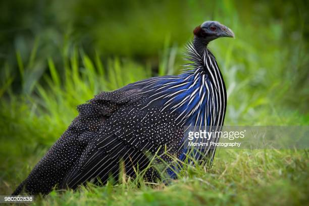 the little bit of vulture in me - guinea fowl stock pictures, royalty-free photos & images
