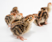 http://www.istockphoto.com/photo/the-little-chicks-of-the-japanese-quail-gm918938254-252756811