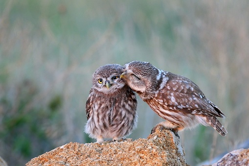 The little owl (Athene noctua) with his chick standing on a stone 1017810548