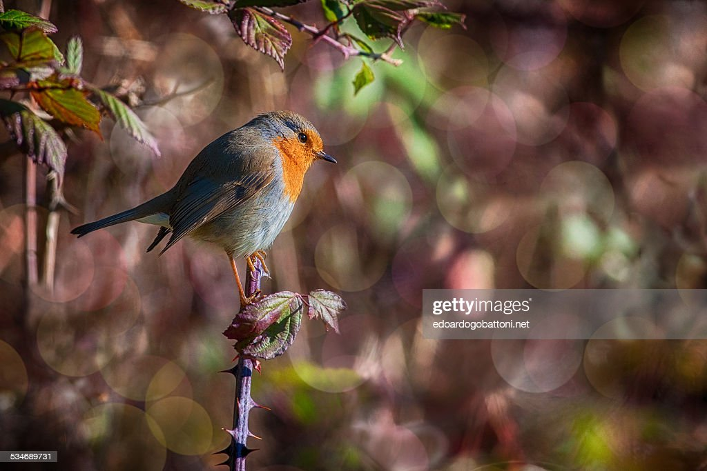 The little robin : Foto stock
