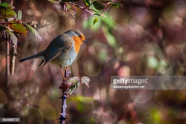 the little robin - edoardogobattoni.net stock pictures, royalty-free photos & images