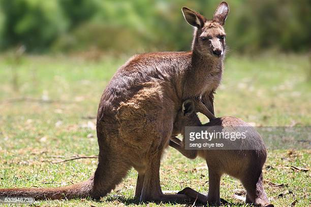 The little shy kangaroo