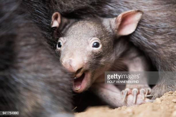 The little wombat 'Apari' looks out of the bag of his mother 'Tinsel' in Duisburg, western Germany, on April 4, 2018. / AFP PHOTO / dpa / Rolf...