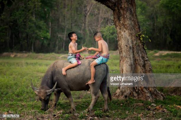 The lives of children in countryside with buffalo.
