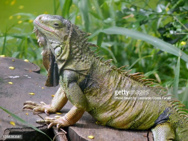 the lizard - leonardo costa farias stock pictures, royalty-free photos & images