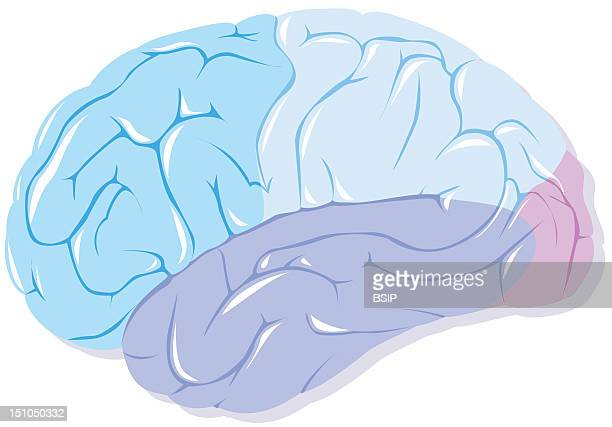 Frontal Lobe Dark Blue Parietal Lobe Light Blue Temporal Lobe Purple Occipital Lobe Pink