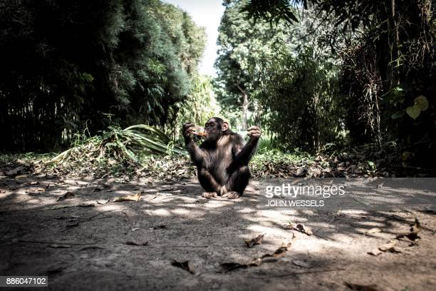 The local Chimpanzee Boss drinks a soda in the derelict Gbadolite Botanical Gardens build by former president of the Democratic Republic of the Congo...