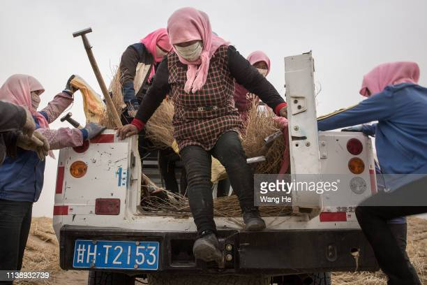 The local women get off the truck in the desert at Mingqin county on March 27th 2019 in Wuwei Gansu Province China In order to prevent...