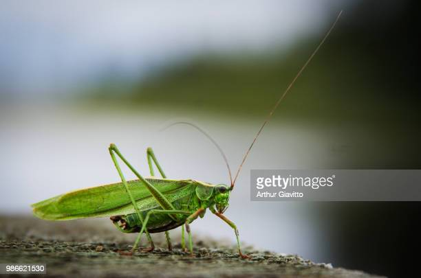 the locust - cricket insect photos stock pictures, royalty-free photos & images