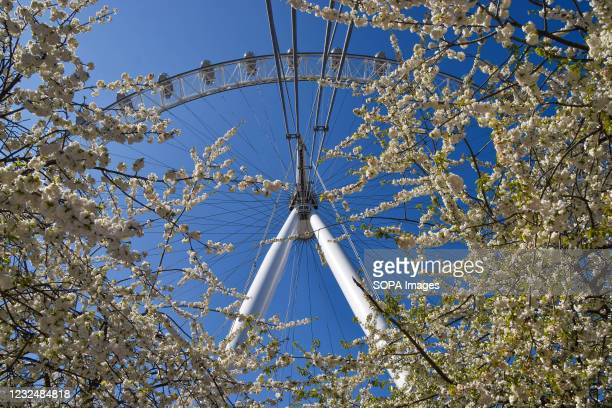The London Eye and cherry blossom trees on a clear day, London.
