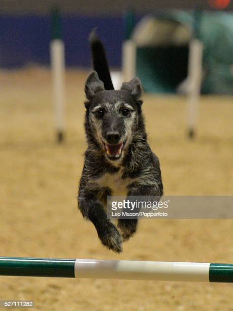 The London International Horse Show at Olympia UK The Kennel Club Medium Dog Agility Finals