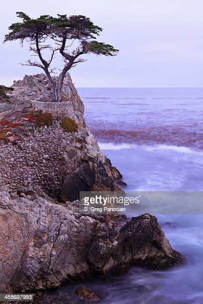 the lone cypress - pebble beach california stock pictures, royalty-free photos & images