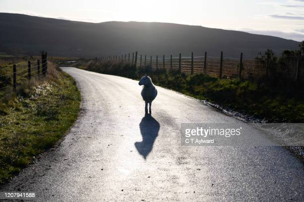 the lone sheep - welsh culture stock pictures, royalty-free photos & images
