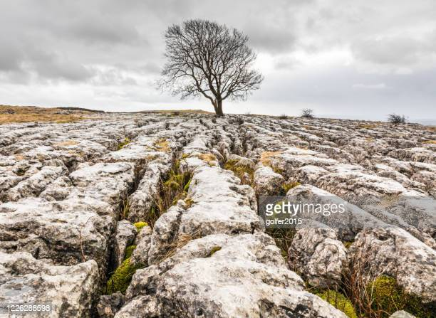 the lone tree - malham - yorkshire dales - northern england - limestone pavement stock pictures, royalty-free photos & images