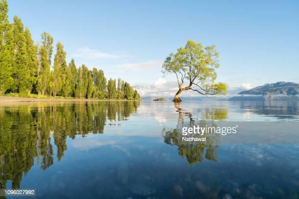 the lone tree of lake wanaka, new zealand - wanaka - fotografias e filmes do acervo
