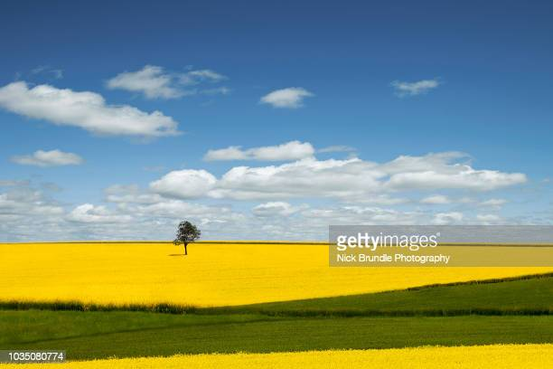 the lone tree - canola oil stock pictures, royalty-free photos & images