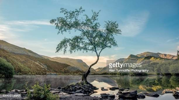 the lone tree - north wales stock pictures, royalty-free photos & images