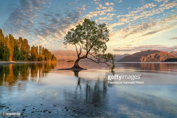 the lone tree, wanaka, new zealand. - eén boom stockfoto's en -beelden