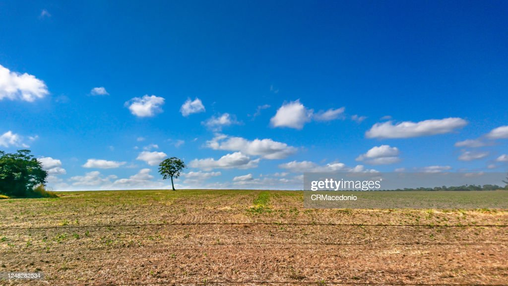 The loneliness of the tree in the middle of the soy plantation in the rural area of Piracicaba. : Stock Photo