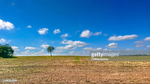 the loneliness of the tree in the middle of the soy plantation in the rural area of piracicaba. - crmacedonio stock pictures, royalty-free photos & images