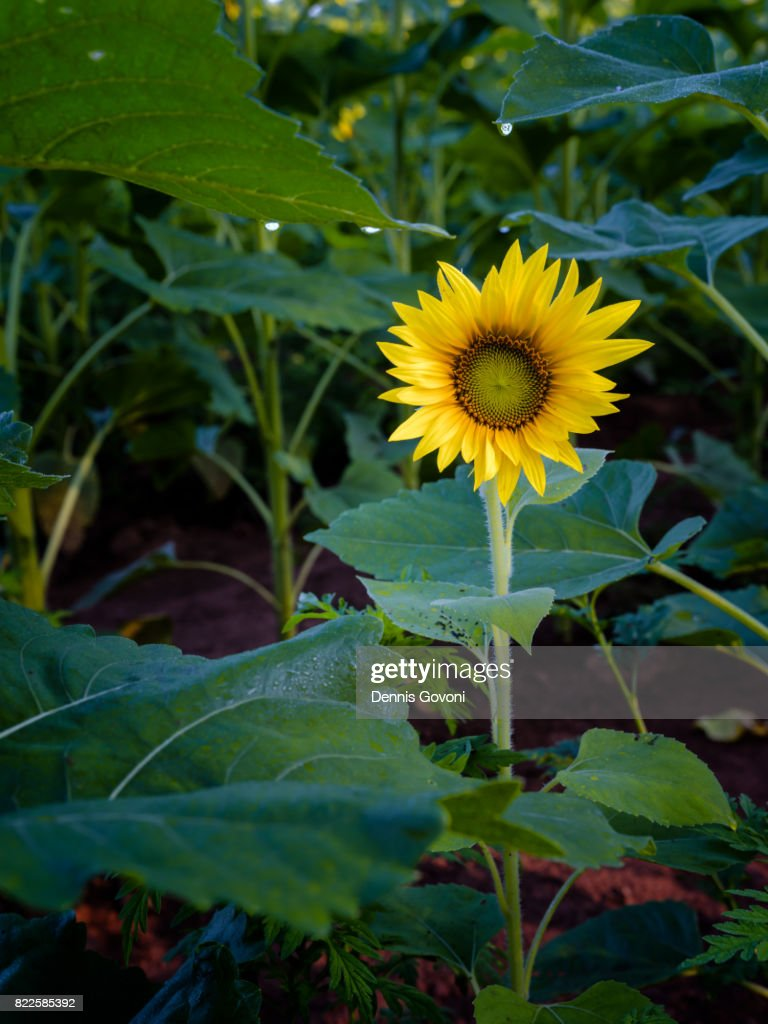 The Lonely Sunflower : Stock Photo