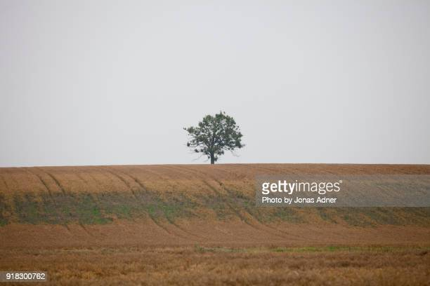 The lonely tree in the field