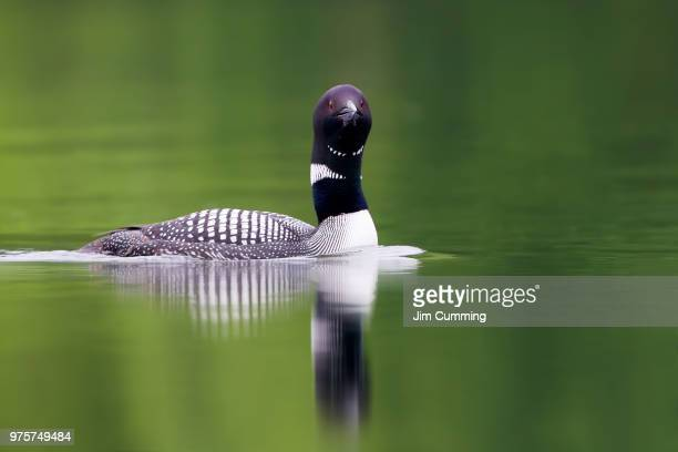 the long neck of the loon - common loon - common loon stock pictures, royalty-free photos & images