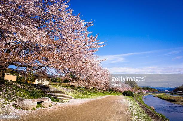 The long row of cherry blossom trees