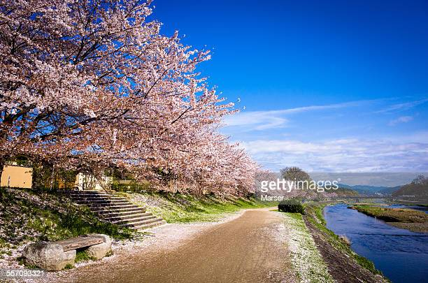 The long row of trees of cherry blossom