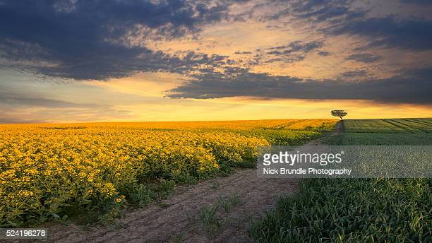 the long run - canola oil stock pictures, royalty-free photos & images