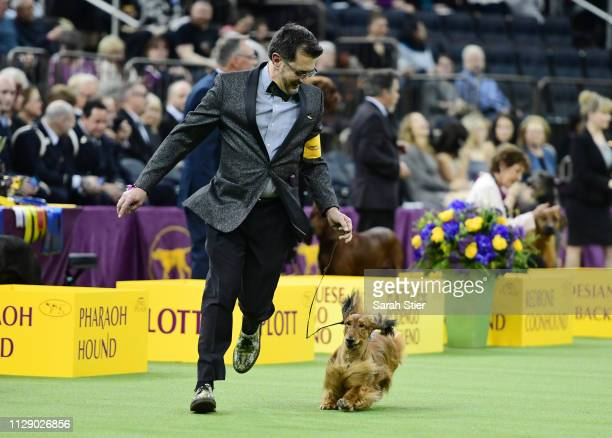 The Longhaired Dachshund and trainer during the Hound Group judging at the 143rd Westminster Kennel Club Dog Show at Madison Square Garden on...
