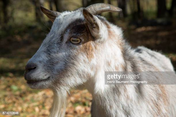 the look of a goat - heinz baumann photography stock-fotos und bilder