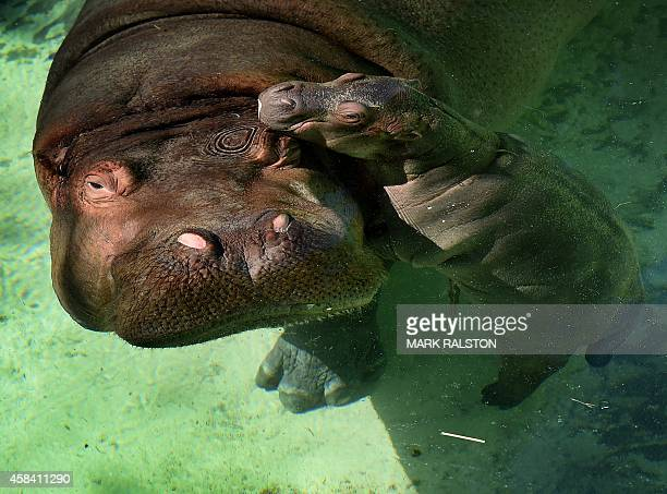 The Los Angeles Zoos female Hippopotamus named Mara stands beside her newborn calf in their compound at the zoo in Los Angeles California on November...