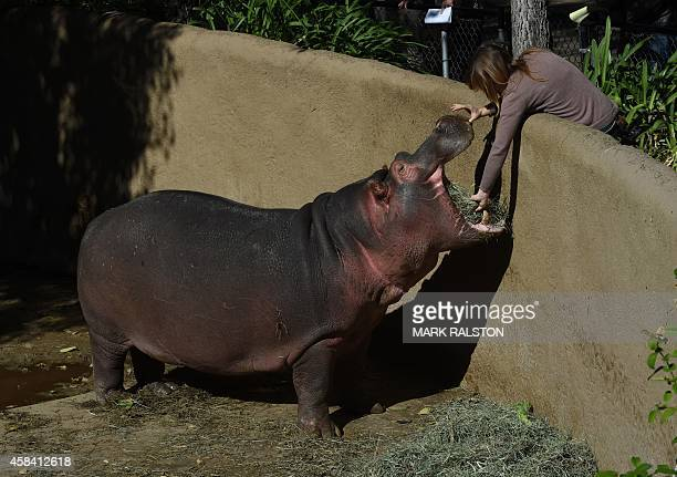 The Los Angeles Zoos male Hippopotamus named Adhama, father of the newborn calf in their compound at the zoo in Los Angeles, California on November...