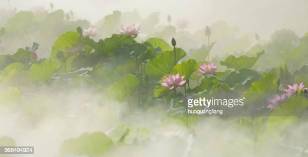 the lotus blooms in summer in the mist - pianta acquatica foto e immagini stock