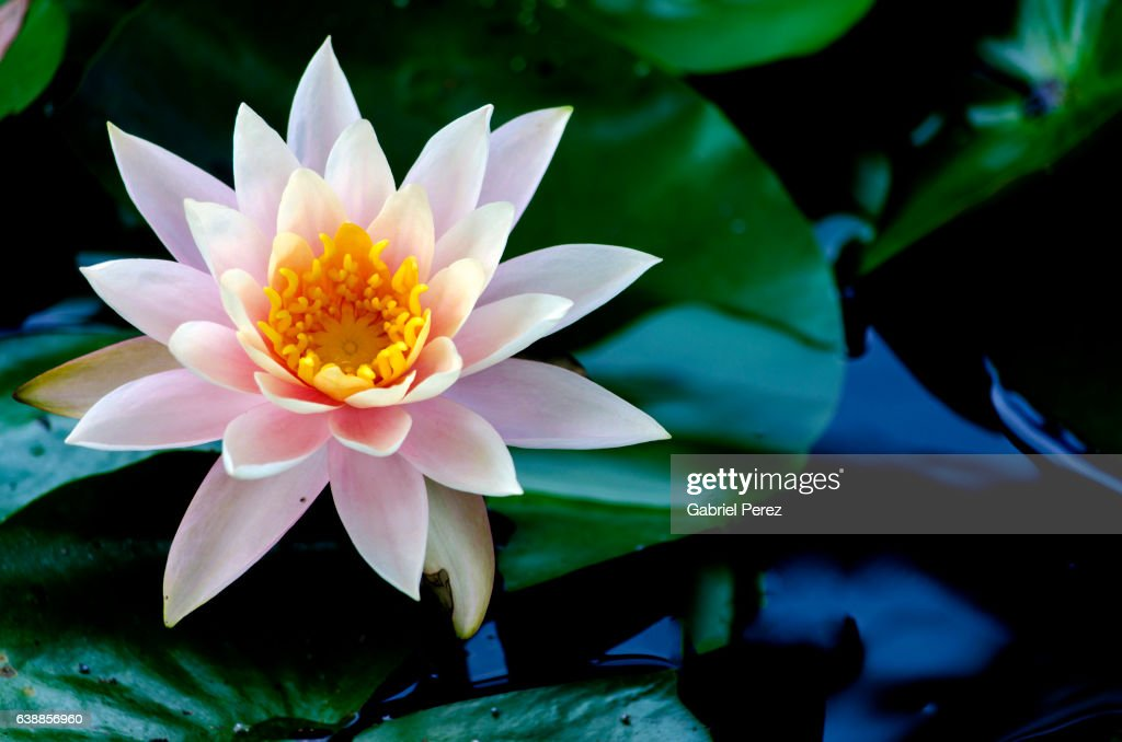 The Lotus Flower Its Symbolism And Meaning For Theravada Buddhist