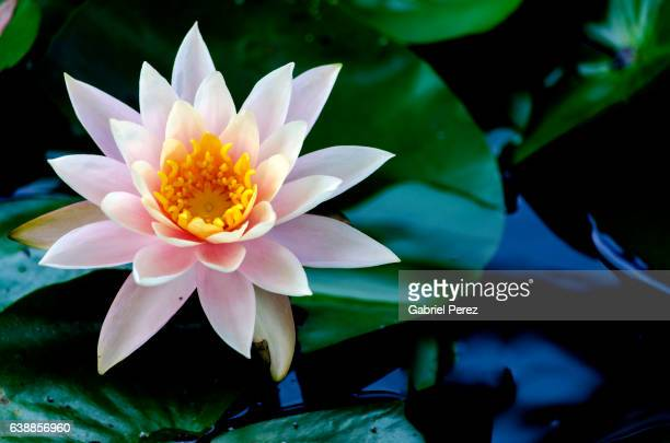 The Lotus Flower: Its Symbolism and Meaning for Theravada Buddhist