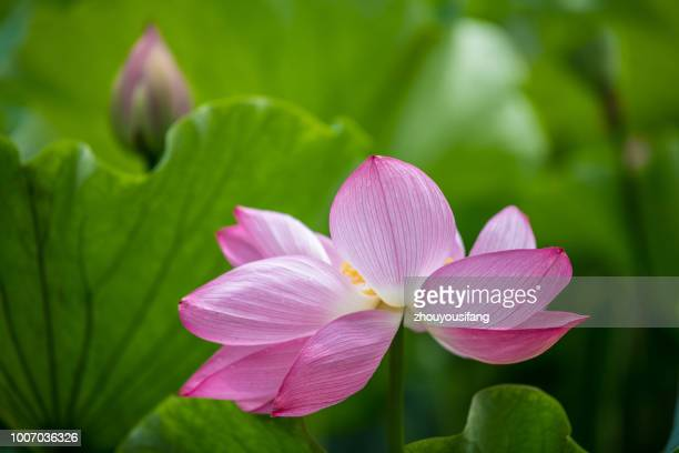 the lotus - the natural world stock pictures, royalty-free photos & images