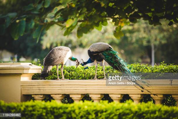 the lovebirds - peahen stock pictures, royalty-free photos & images