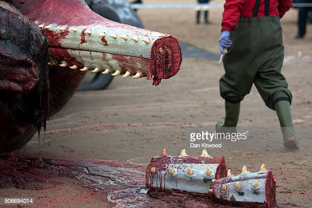 The lower jaw of one of the three Sperm Whales that were found washed ashore on a beach near Skegness over the weekend hangs after being cut by a...