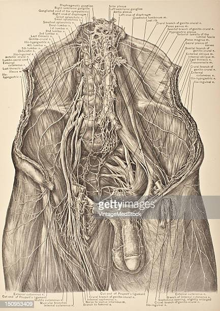 The lumbar plexus is formed by the intercommunication of the anterior divisions of the upper four lumbar and a communicating twig from the anterior...