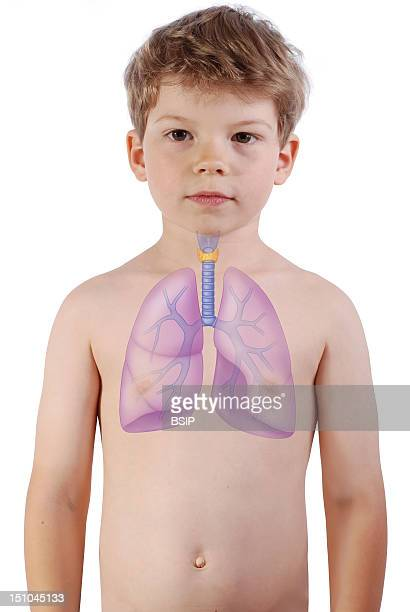 The Lungs The Trachea And The Thyroid Gland In A 6 Year Old Boy