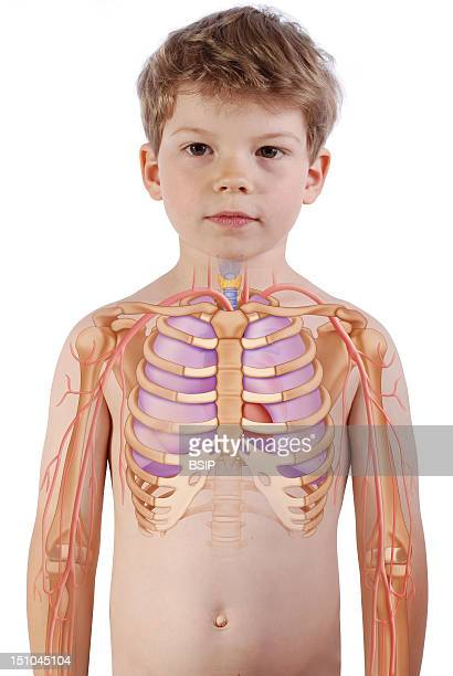 The Lungs The Trachea The Heart And The Rib Cage In A 6 Year Old Boy