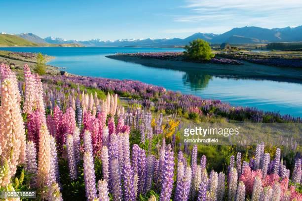 los altramuces de lake tekapo - lago tekapo fotografías e imágenes de stock