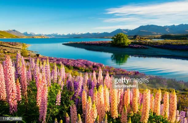los alusión del lago tekapo - lago tekapo fotografías e imágenes de stock
