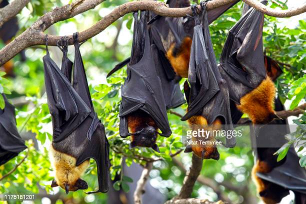 the lyle's flying fox ( pteropus lylei ) bat. is a species of flying fox in the family pteropodidae. it is found in cambodia, thailand and vietnam. - animal wing stock pictures, royalty-free photos & images